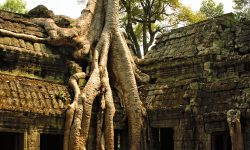 A tree growing through a temple in Cambodia